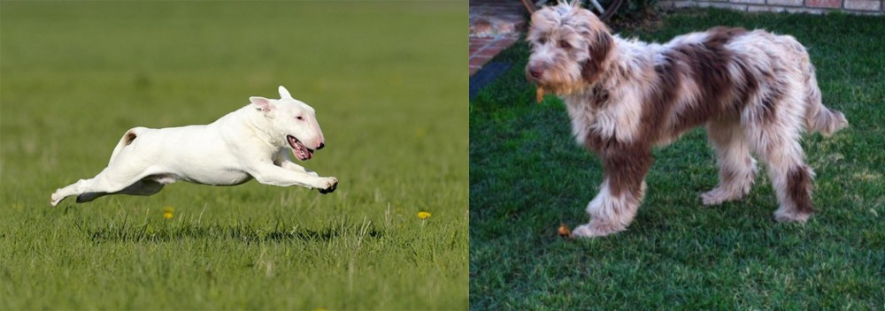Bull Terrier vs Aussie Doodles