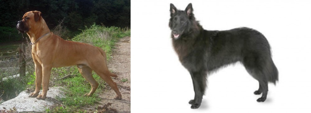 Bullmastiff vs Belgian Shepherd
