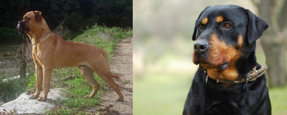 Bullmastiff vs Rottweiler