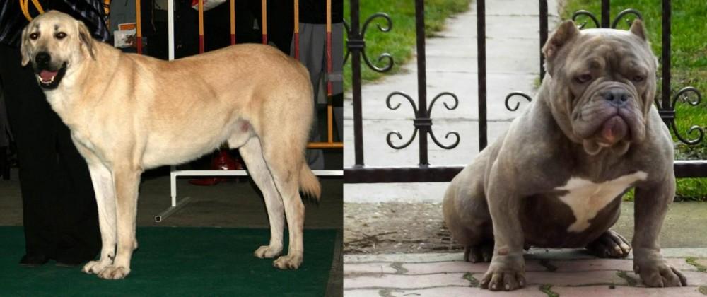 Central Anatolian Shepherd vs American Bully