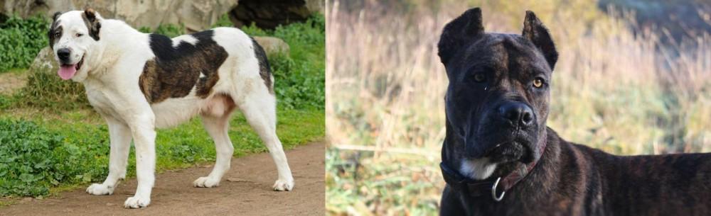 Central Asian Shepherd vs Alano Espanol