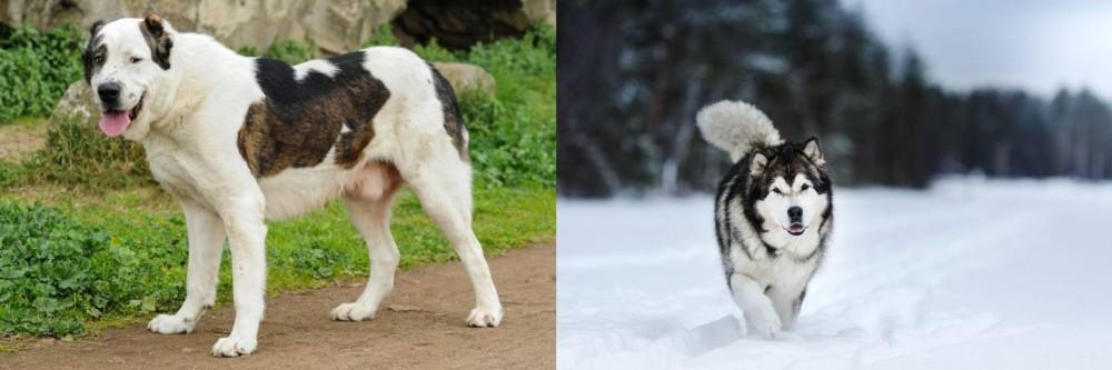 Central Asian Shepherd vs Siberian Husky