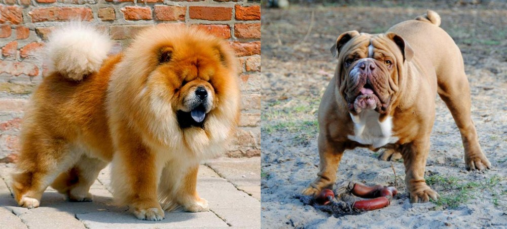 Chow Chow vs Australian Bulldog