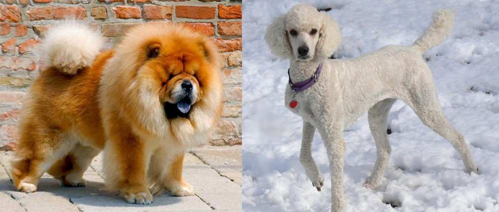 Chow Chow vs Poodle