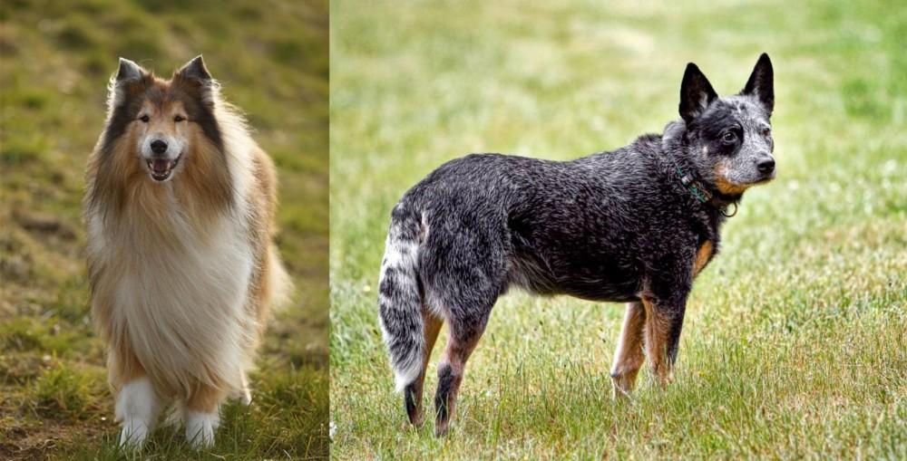 Collie vs Austrailian Blue Heeler