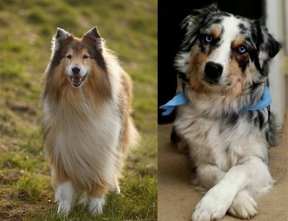 Collie vs Australian Collie