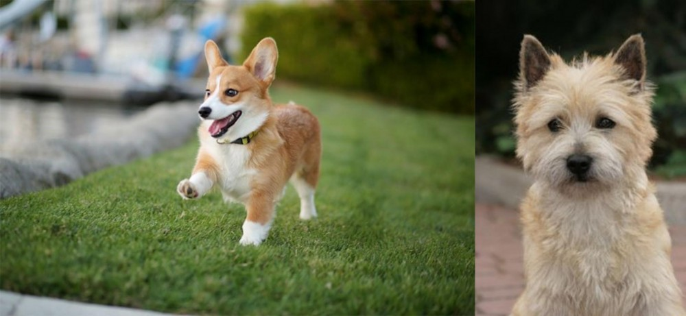 Corgi vs Cairn Terrier