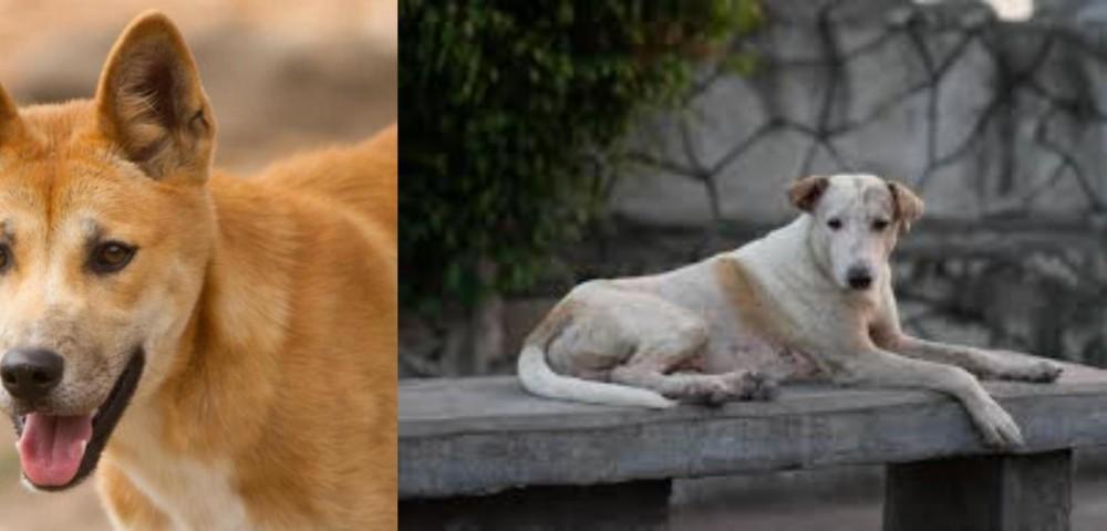 Dingo vs Askal
