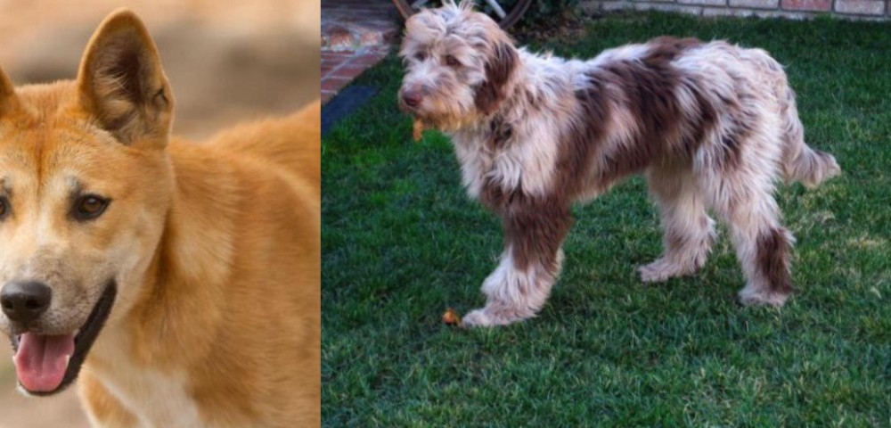 Dingo vs Aussie Doodles