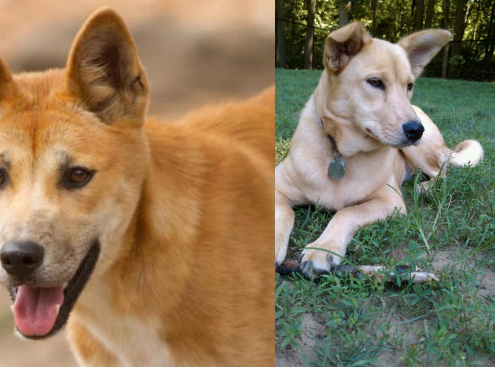 Dingo vs Carolina Dog