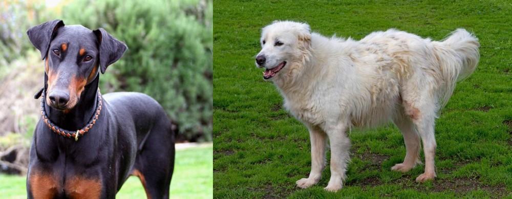 Abruzzenhund vs Doberman Pinscher