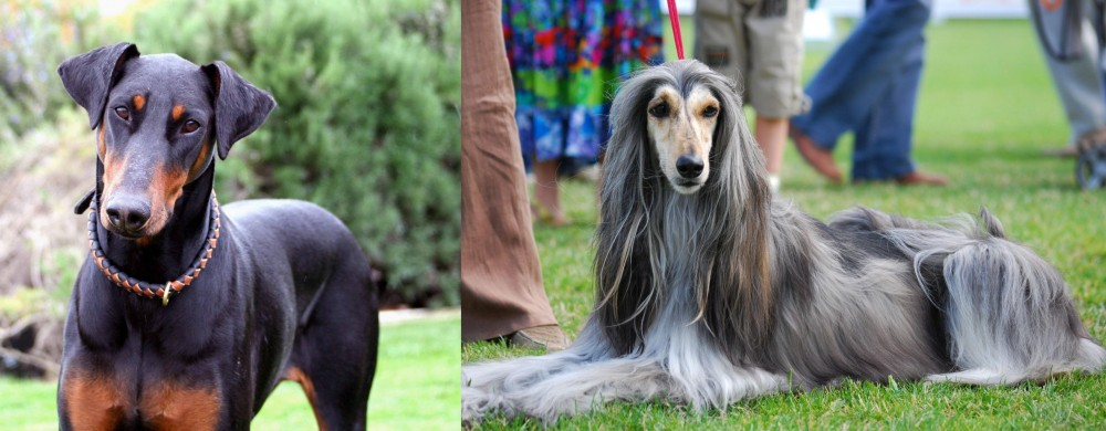 Afghan Hound vs Doberman Pinscher
