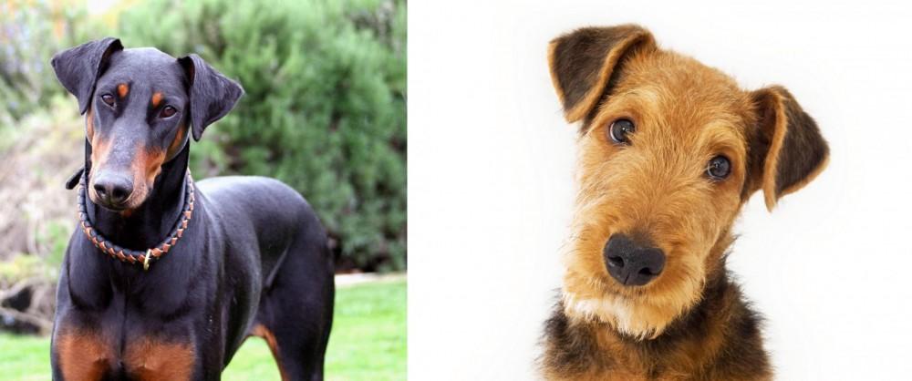 Airedale Terrier vs Doberman Pinscher