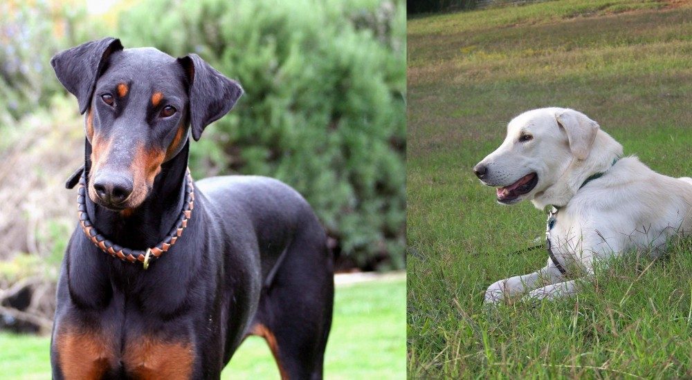 Akbash Dog vs Doberman Pinscher
