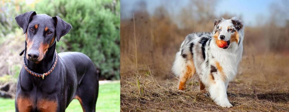 Australian Shepherd vs Doberman Pinscher