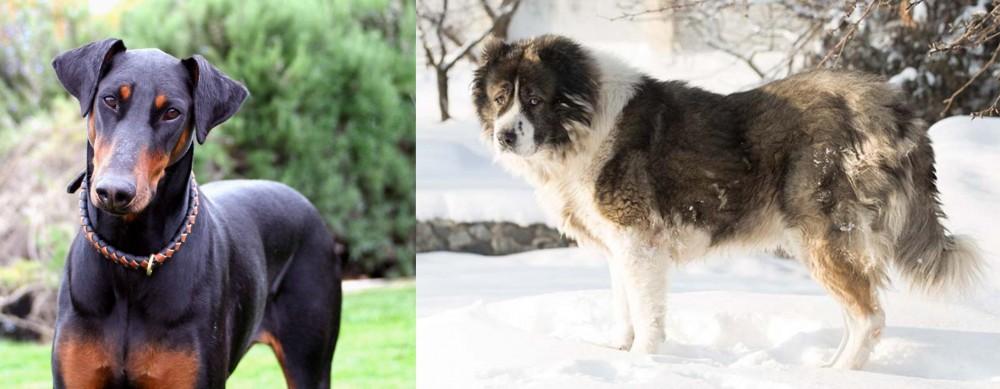 Caucasian Shepherd vs Doberman Pinscher