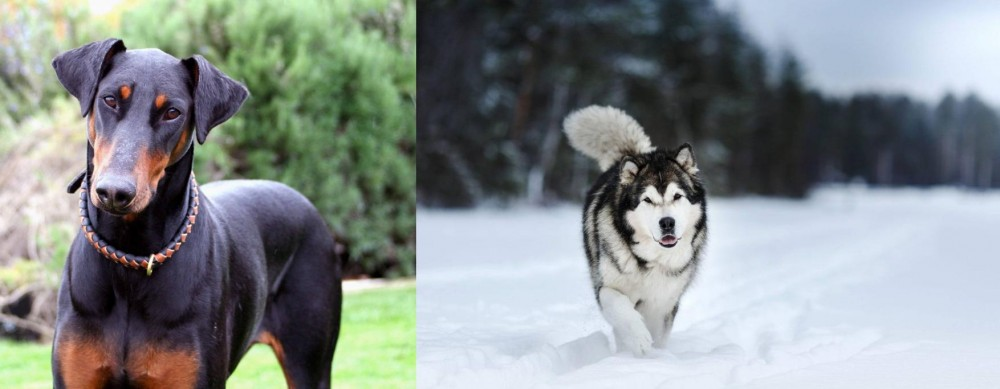 Doberman Pinscher vs Siberian Husky