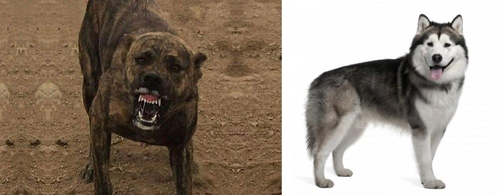 Dogo Sardesco vs Alaskan Malamute