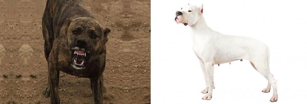Dogo Sardesco vs Argentine Dogo