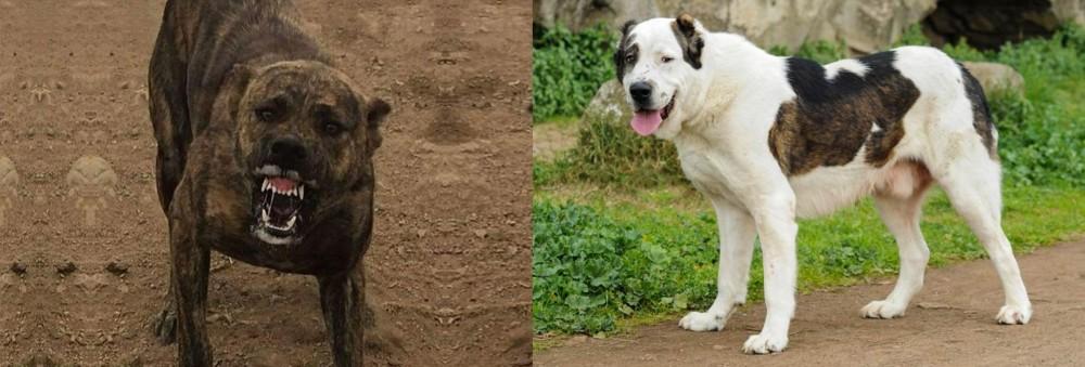 Dogo Sardesco vs Central Asian Shepherd