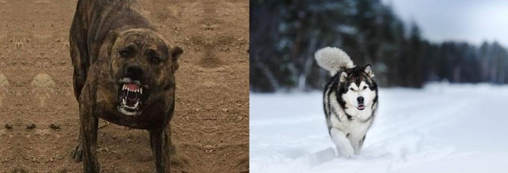 Dogo Sardesco vs Siberian Husky