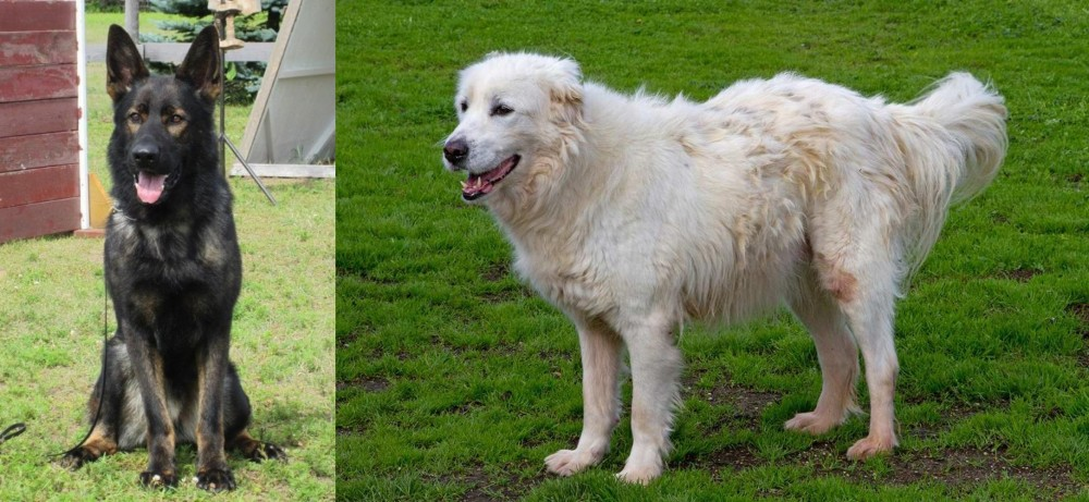 East German Shepherd vs Abruzzenhund