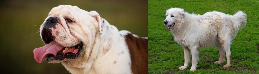 Abruzzenhund vs English Bulldog