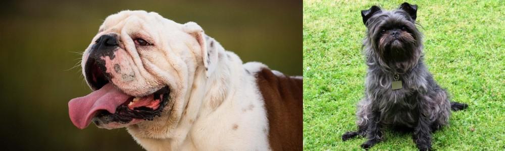 Affenpinscher vs English Bulldog
