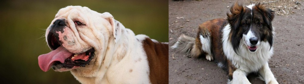 Aidi vs English Bulldog