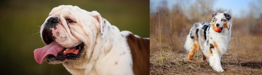Australian Shepherd vs English Bulldog