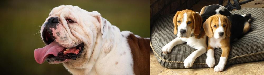 Beagle vs English Bulldog