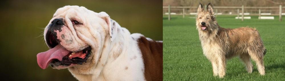 Berger Picard vs English Bulldog