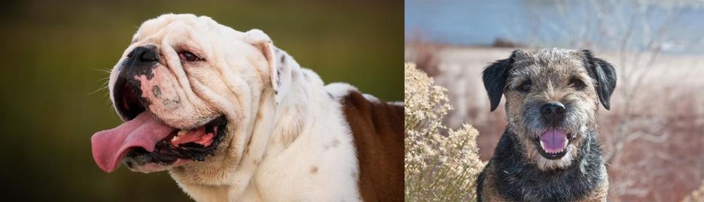 Border Terrier vs English Bulldog