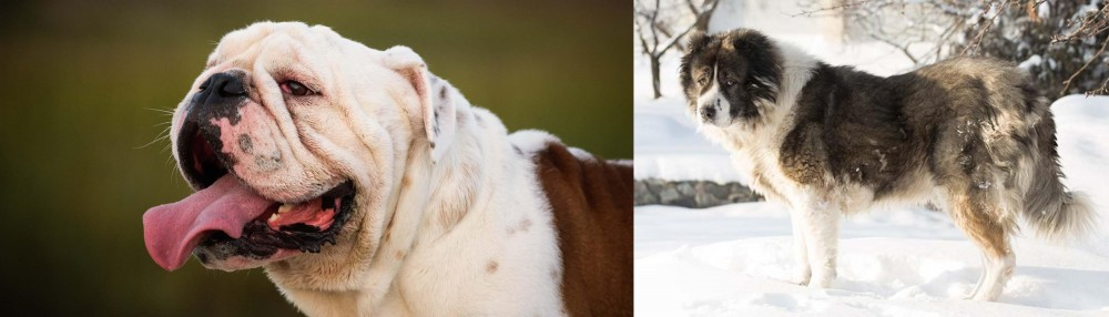 Caucasian Shepherd vs English Bulldog