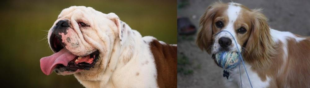Cockalier vs English Bulldog