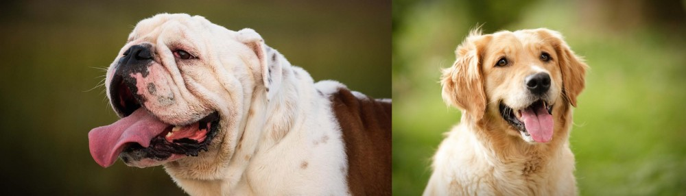 Golden Retriever vs English Bulldog