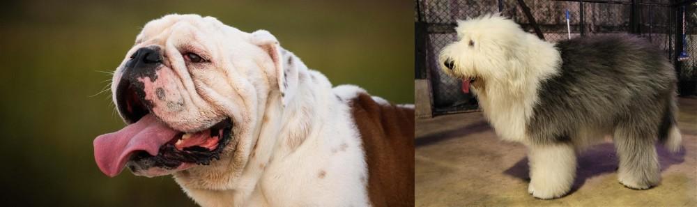 Old English Sheepdog vs English Bulldog