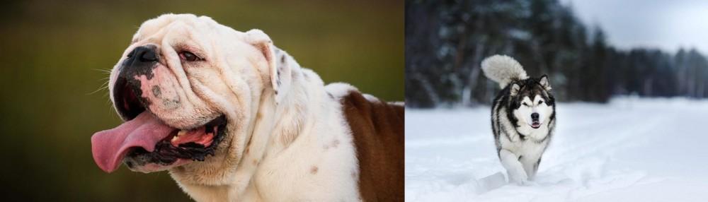 Siberian Husky vs English Bulldog
