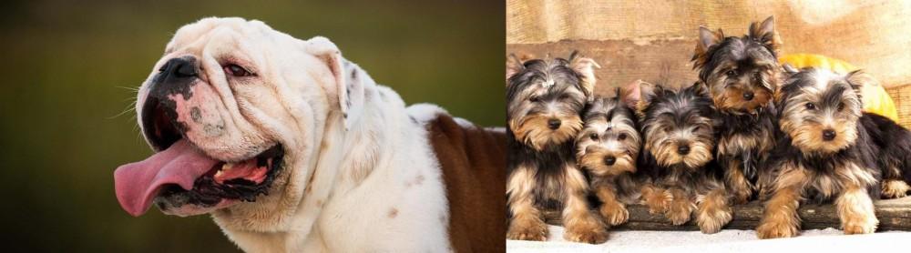 Yorkshire Terrier vs English Bulldog