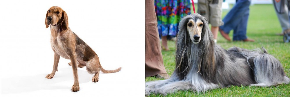 English Coonhound vs Afghan Hound