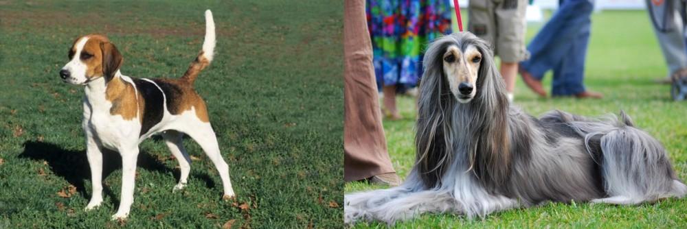 English Foxhound vs Afghan Hound