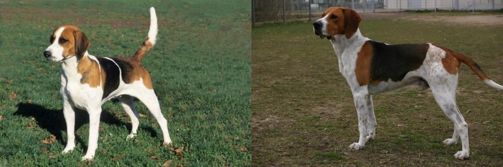 English Foxhound vs Anglo-Francais de Petite Venerie