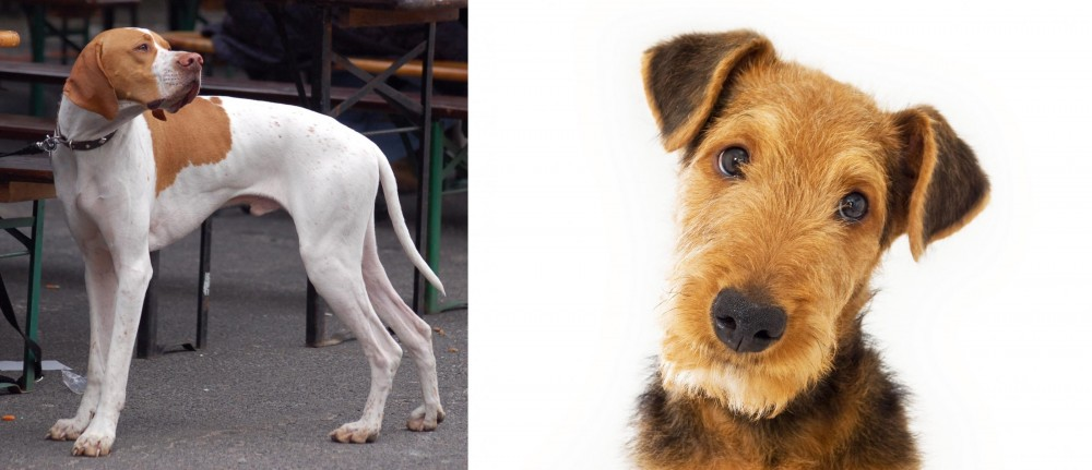 Airedale Terrier vs English Pointer