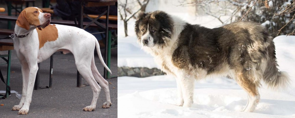 Caucasian Shepherd vs English Pointer