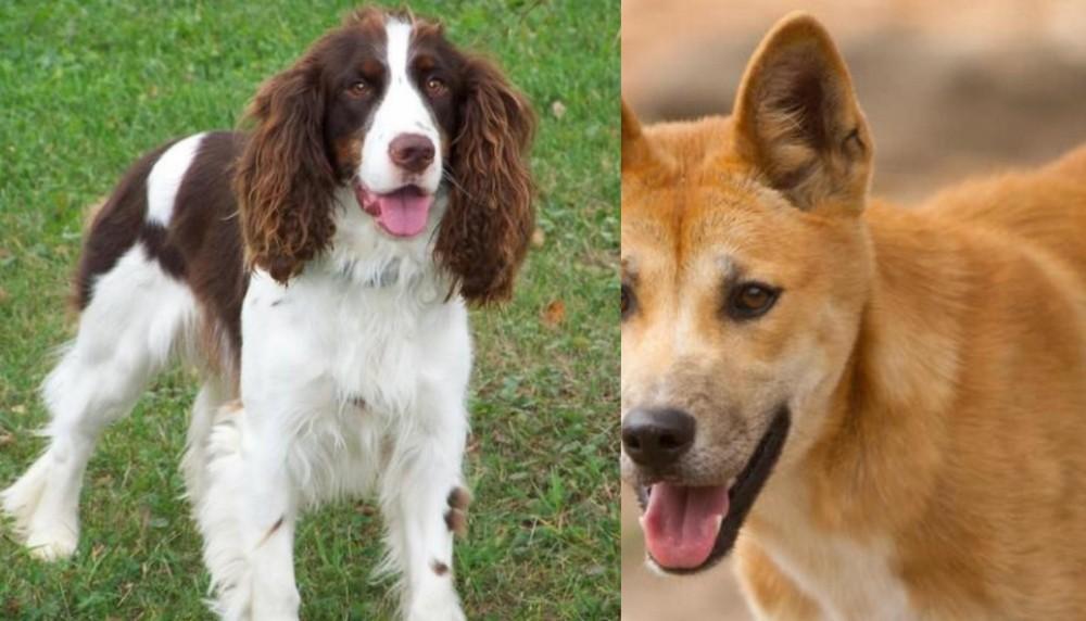 English Springer Spaniel vs Dingo