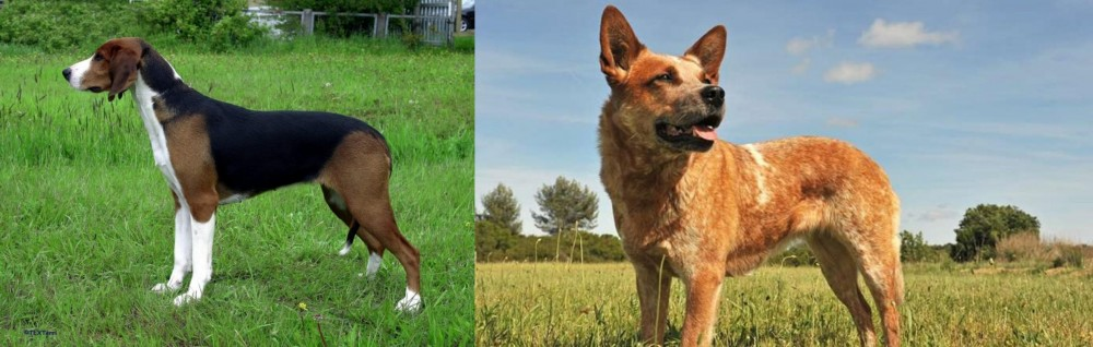Finnish Hound vs Australian Red Heeler