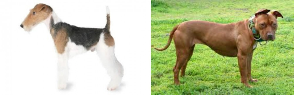 Fox Terrier vs American Pit Bull Terrier