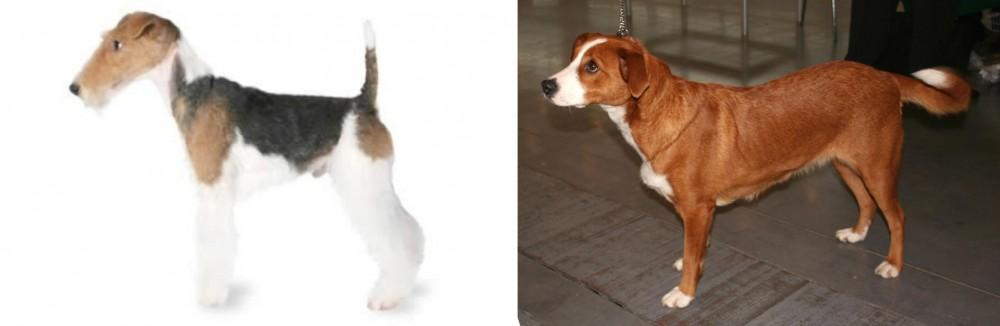 Fox Terrier vs Austrian Pinscher