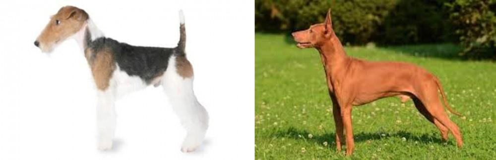 Fox Terrier vs Cirneco dell'Etna
