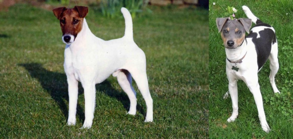 Fox Terrier (Smooth) vs Brazilian Terrier